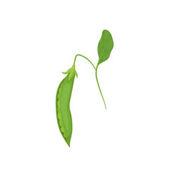 pod of ripe green peas hanging on thin stalk with vector image