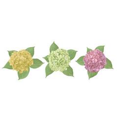 yellow green pink flower hydrangea mophead vector image
