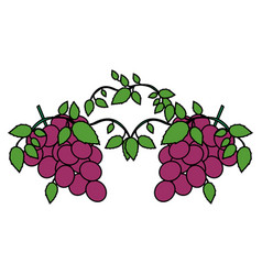 White background with two colorful bunch of grapes vector