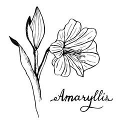 Amaryllis flower botany vector