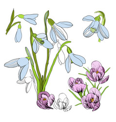 drawing sketch of snowdrop first vector image