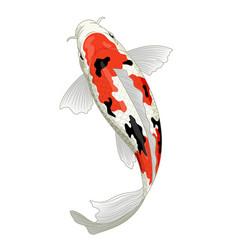 Japan koi fish in sanke coloration vector
