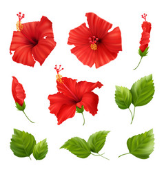 realistic flowers hibiscus set vector image