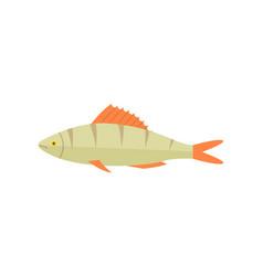 zander river fish isolated icon vector image