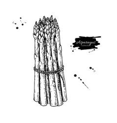 Asparagus bunch hand drawn vector