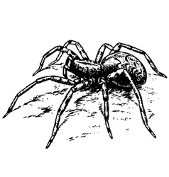 lycosa spider vector image