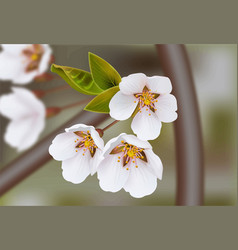 cherry flowers realistic branches spring vector image