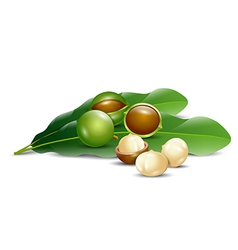 macadamia nuts white background natural organic vector image