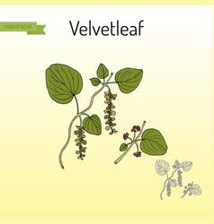 Velvetleaf cissampelos pareira medicinal plant vector