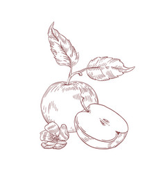 Apple half with leaves realistic hand drawn vector