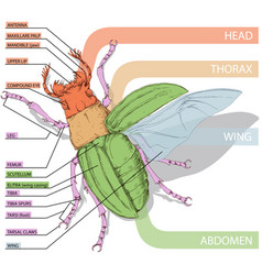 Diagram of the beetle tutorial realistic vector