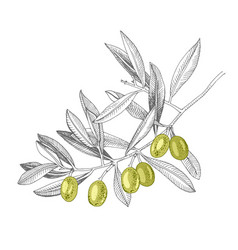 hand drawn branch with green olives vector image