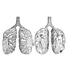 Lungs of a pigeon vintage vector