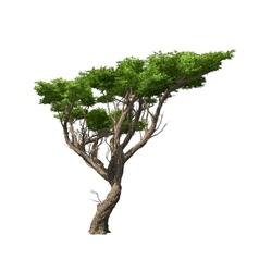 Acacia tree isolated vector image vector image