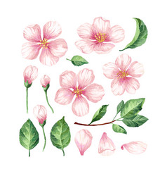 set collection of apple flowers petals and vector image