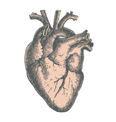 hand drawn line art anatomic human heart vector image