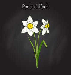 Narcissus or daffodil daffadowndilly jonquil vector