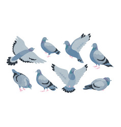 Collection of grey feral pigeon in various poses vector