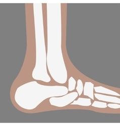 human Foot Bones vector image vector image