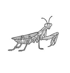 european mantis sketch vector image