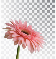 Gerbera isolated on a transparent background vector