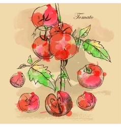 Sketch of tomatoes for design vector