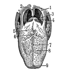 Vintage engraving human tongue vector