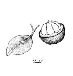 Hand drawn of sweet ripe santol fruit on white bac vector