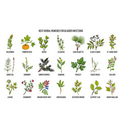 Best herbal remedies for bladder infections vector