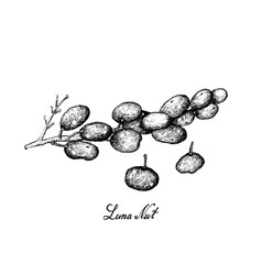 Hand drawn of sweet ripe luna nut fruits on white vector