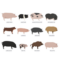 Pigs hogs breed icon set flat design vector