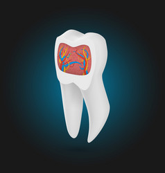 Realistic tooth 3d teeth with inner part template vector
