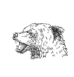 roaring bear head drawing side view animal hand vector image