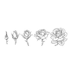 Rose flowers set stages rose blooming from vector
