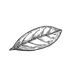 Bay leaf ink sketch vector