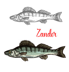 Zander fish fishing icon vector