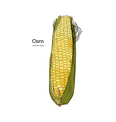 corn on the cob vintage engraved botanical corn vector image
