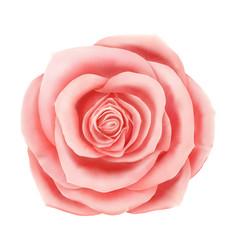 beautiful pink rose floral decorative vector image