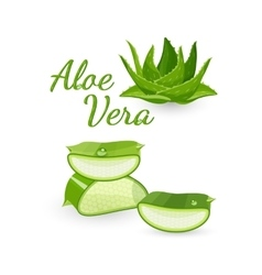 Aloe vera plant and its parts vector