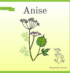 Aromatic herbs collection anise vector