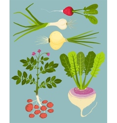 Growing Root Vegetables with Greens Collection vector image
