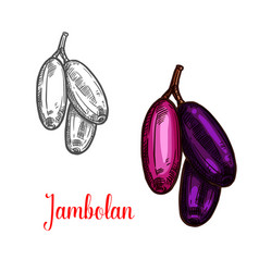 Jambolan or java plum fruit sketch of exotic berry vector
