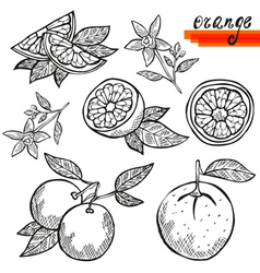 orange fruits vector image