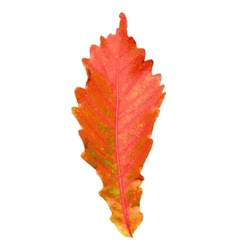Autumn leaf on white background vector image