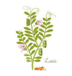 Cereals legumes plants lentils with leaves vector
