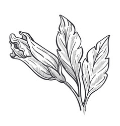 Closed bud hibiscus plant wild flower sketch vector