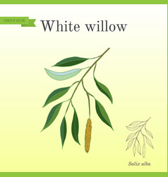 White willow branch vector