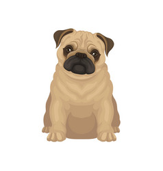 cute pug puppy sitting isolated on white vector image