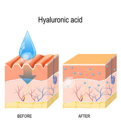 hyaluronic acid vector image