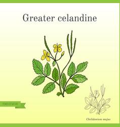medicinal herb greater celandine vector image